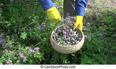 cut fresh medical wild majoram oregano  herb blossom