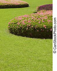 fresh green short-cut grass lawn with blossom azalea -rhododendron bushes