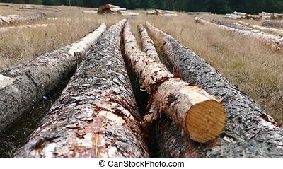 cut large pine trees for lumber,