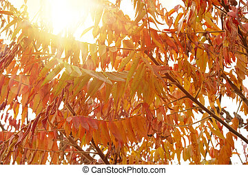 Cut-leaves staghorn sumac in autumn, with sunshine. Also known as Rhus typhina Dissecta.