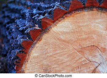 cut oak trunk with annual rings