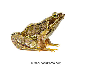 Cut out Common frog - Common Brown frog (rana temporaria)...
