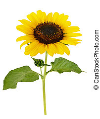 sunflower - cut out sunflower with leaves isolated on white...