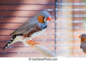Cut-throat Finch bird in cage