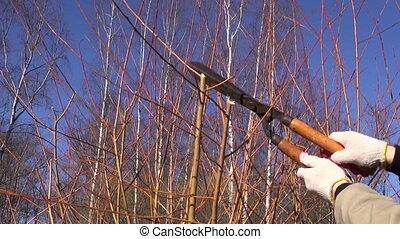 cut trim prune decorative willow bush tree branch in spring...