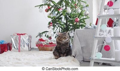 Cute a big Maine coon cat sitting among the boxes gifts and...
