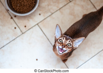 Cute Abyssinian kitten Looks up and shouts, wants to eat. Hungry cat concept