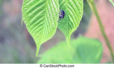 Cute active brown scarab beetles on lush green blackberry...