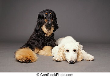 Cute afghan hound with puppy of afghan hound on gray...