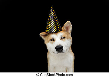 Cute akita dog puppy celebrating new year, birthday, carnival wearing a polka party hat. Isolated on black background.
