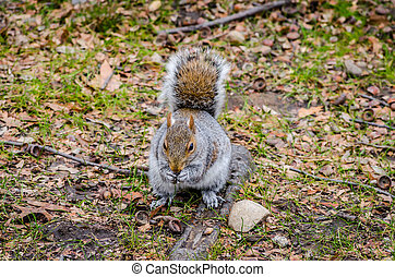 Cute American Grey Squirrel Eating a Nut in Central Park