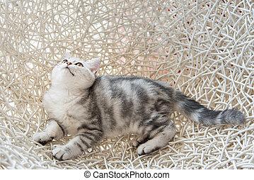 Cute american shorthair cat