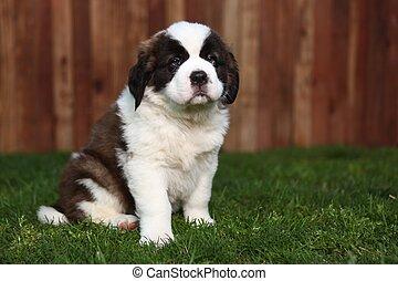 Adorable Saint Bernard Pup