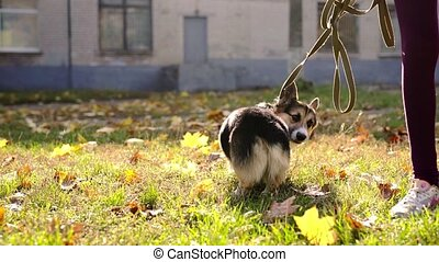 cute and adorable tricolor Welsh Corgi dog walking outdoors ...