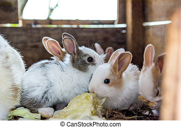 Cute and furry baby bunnies eating cabbage.