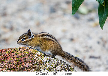 Cute and furry chipmank sitting on a rock (Tamias striatus)