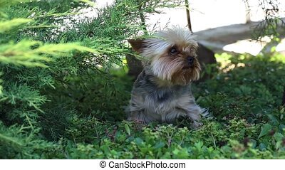 Cute and furry dog, Little dog playing in the grass