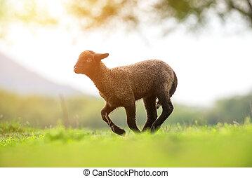 Cute and little black lamb running