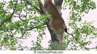 Cute and playfull lynx cat cub climbing in a tree in the...