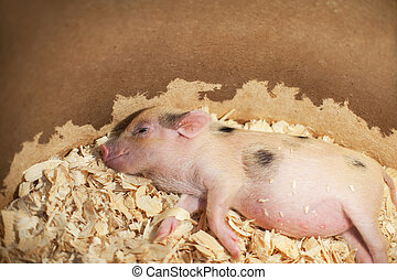 Cute and sleeping little pig in