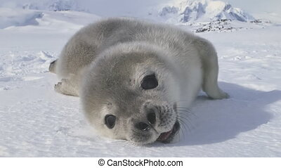 Cute antarctic weddell seal baby muzzle front view - Cute...