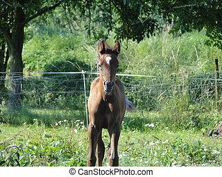 cute Arabian foal watching you