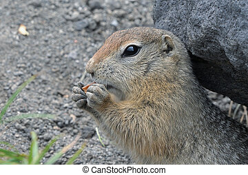 Cute Arctic ground squirrel eating cracker holding food in paws. Curious northern wild animal of genus of medium sized rodents of squirrel family