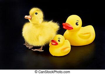 Cute Babe Ducks.