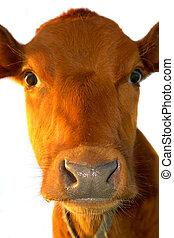 cute baby cow