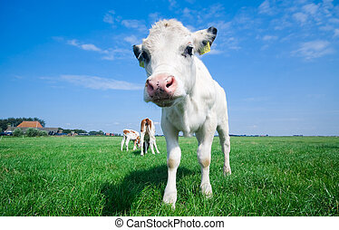 cute baby cow on farmland with fresh green grass and bright...