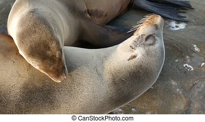 Cute baby cub, sweet sea lion pup and mother. Funny lazy seals, ocean beach wildlife, La Jolla, San Diego, California, USA. Funny awkward sleepy marine animal on pacific coast. Family love and care.