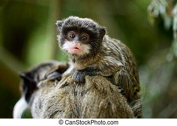 baby emperor tamarin - cute baby emperor tamarin (Saguinus...