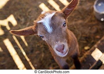Baby goat in paddock - Cute Baby goat in paddock