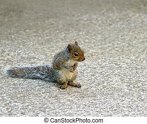 Baby Grey Squirrel - Cute Baby Grey Squirrel sitting on...