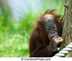 cute baby orangutan looking at the camera