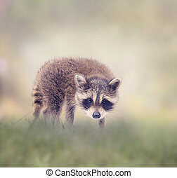 Baby raccoon walking in the grass