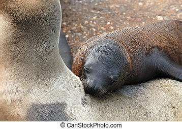 cute baby sea lion resting on mothers back
