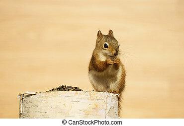 Cute baby squirrel.