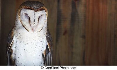 Cute Barn Owl Snoozing on his Perch. FullHD 1080p footage - ...