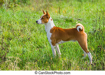 Basenji dog - troop leader in the wild autumnal grass