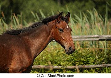 Cute two month old latvian breed bay foal portraity in summer
