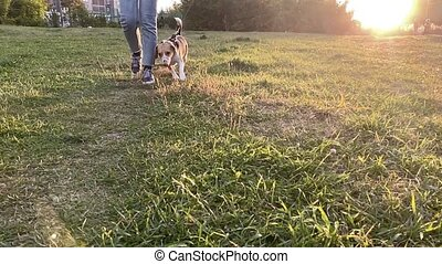 Cute beagle dog outdoor with her female owner. Slow motion.