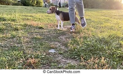 Cute beagle dog outdoor with her female owner. Slow motion...
