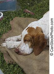 cute beagle dog sleeping