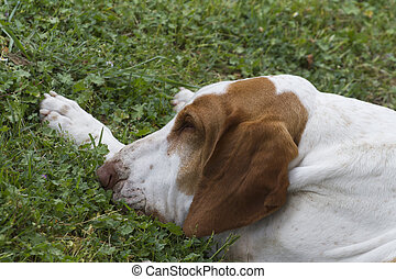 cute beagle dog