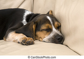 Cute Beagle Laying Down on Leather Couch.