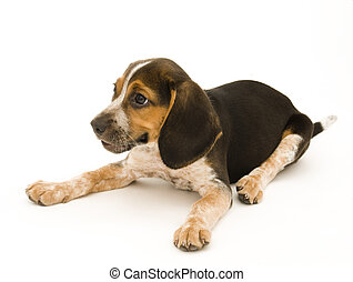 Cute Beagle Laying Down
