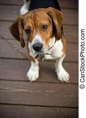 Cute Beagle Pup