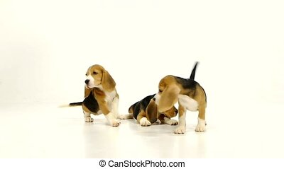Cute Beagle Puppy (5 week old). Slow motion