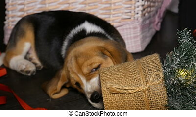 Beagle puppy gnaws a small new year tree - Cute Beagle puppy...